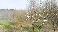 春天的果园