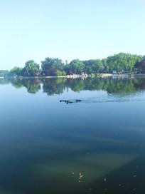 湖中几只嬉戏的小野鸭
