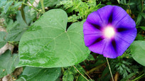 盛开的紫色喇叭花