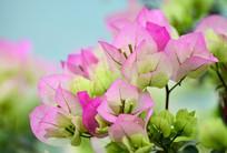 粉嫩的三角梅