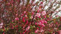 粉色樱花朵朵开