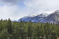雪山松树林植被