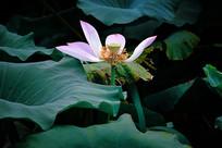 一朵荷花莲