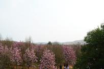 清镇万亩花海盛开的玉兰花