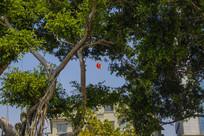 古树茂盛红旗招展