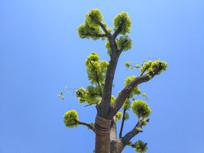 香樟树吐新芽