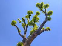 新叶老树蓝天