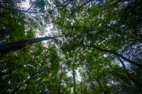 仰视飞鹅岭公园的树木