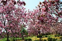 玉兰花开满枝头