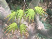 春天里碧绿的枫叶
