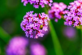 一只甲壳虫停在马鞭草上