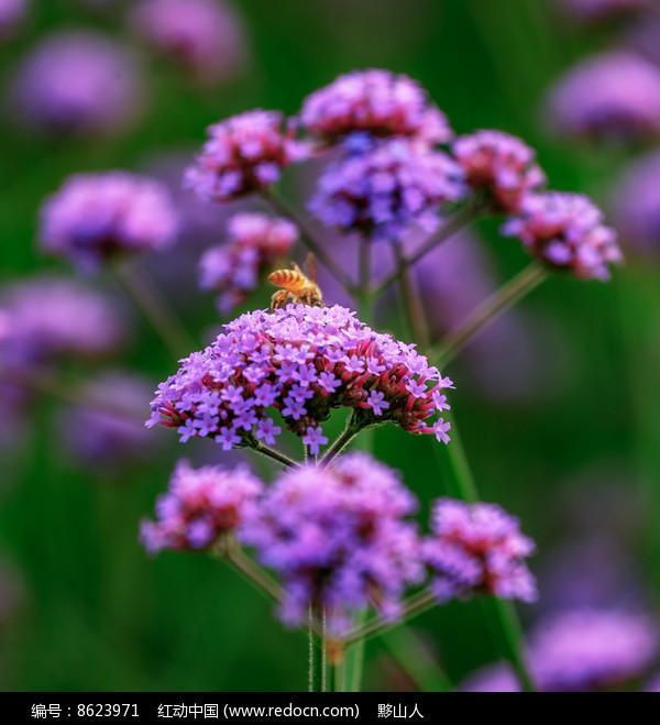 一只蜜蜂在采蜜图片