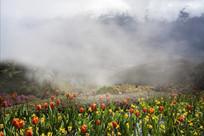 云雾中的郁金香