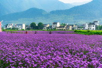紫色的柳叶马鞭草盛开田间
