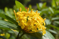黄色龙船花