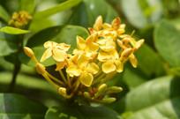 黄色龙船花朵