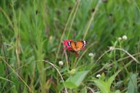 蝴蝶与小花