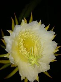 火龙果花朵