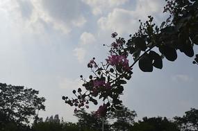 天空下的紫薇花