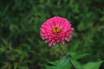 微距摄影粉红小花