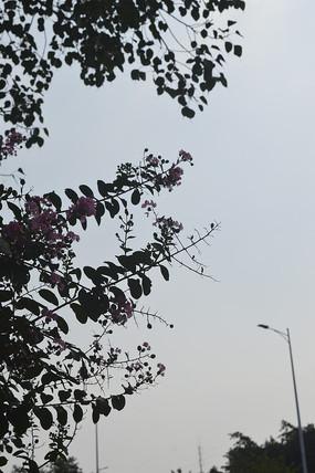 紫薇花树叶子