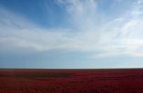 初秋火红的碱蓬草