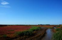 初秋火红的碱蓬草红海滩'