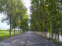 道路两排树