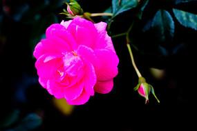 粉红玫瑰特写