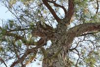 高大的松子树