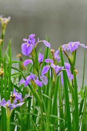湖边的鸢尾花