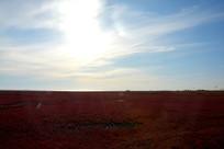 火红的碱蓬草
