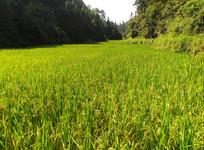 即将成熟的水稻