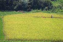 金灿灿的稻谷