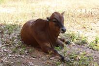可爱小牛犊子