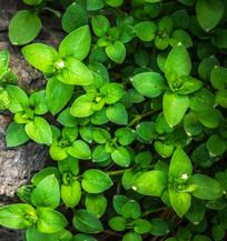 绿色植物叶子植物