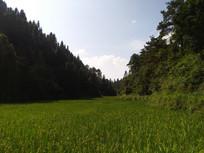 山下的水稻田