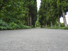 乡村道树两排