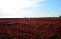 一望无际火红的碱蓬草