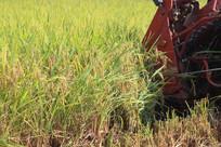正在收割的稻谷