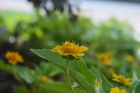 百日菊花朵