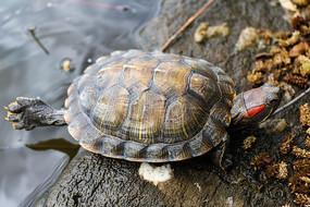 巴西红耳龟