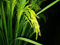 黑色背景的水稻