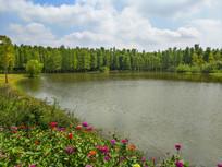 花海湿地池杉