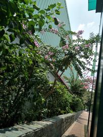 路边墙角的紫荆花
