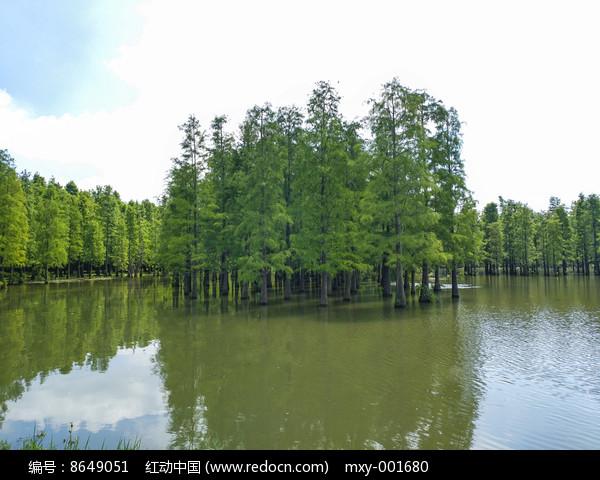 青西池杉林图片