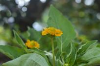 盛开的百日菊