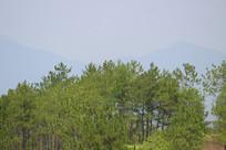 松子树层层叠叠