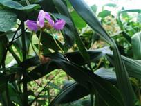 紫色长豆花