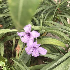 紫色花灌木花卉野花